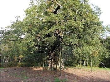 Sherwood Tree